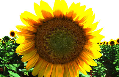 tournesol-1530628-1280x960_picture_wynand_van_nieker_freeimages.jpg