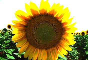 girasole-1530628-1280x960_picture_wynand_van_nieker_freeimages.jpg